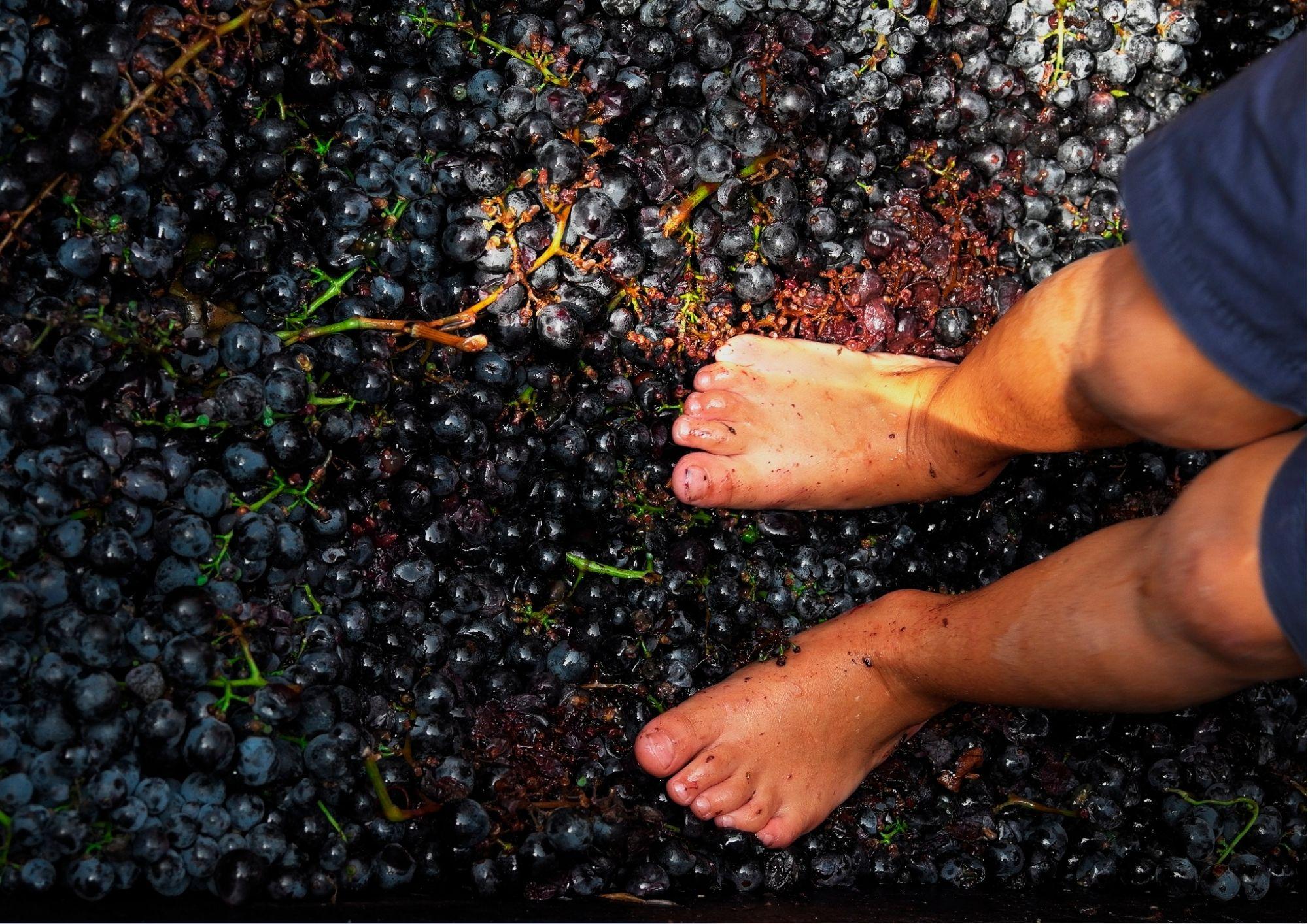 Pigiatura dell'uva con degustazioni di piatti tipici nelle Langhe!