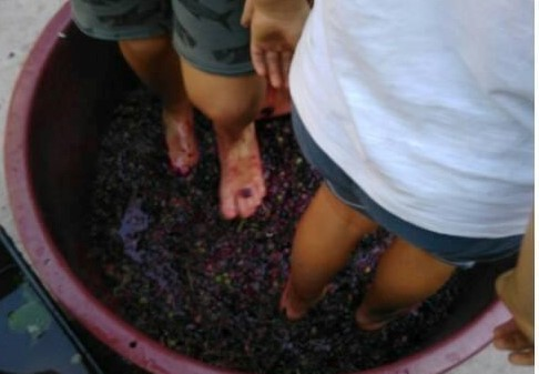 Pigiatura dell'uva in fattoria Murnee!